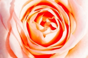 %22The Rose%22 by Gualberto107